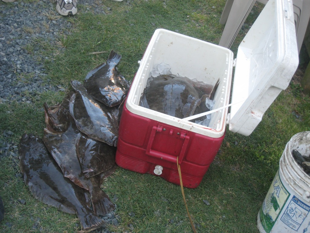 Cooler full of fluke (summer flounder) in Wachapreague