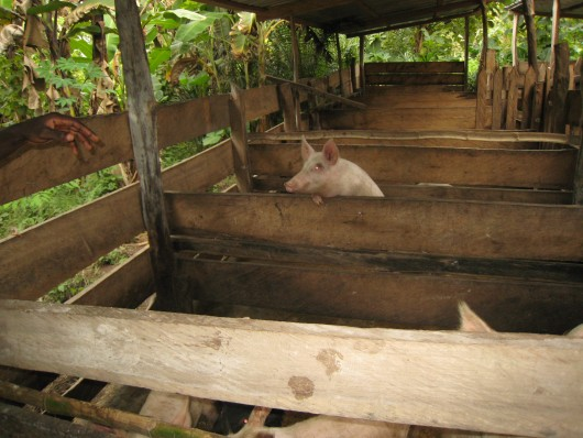 Pigs in the orphanage in Ghana