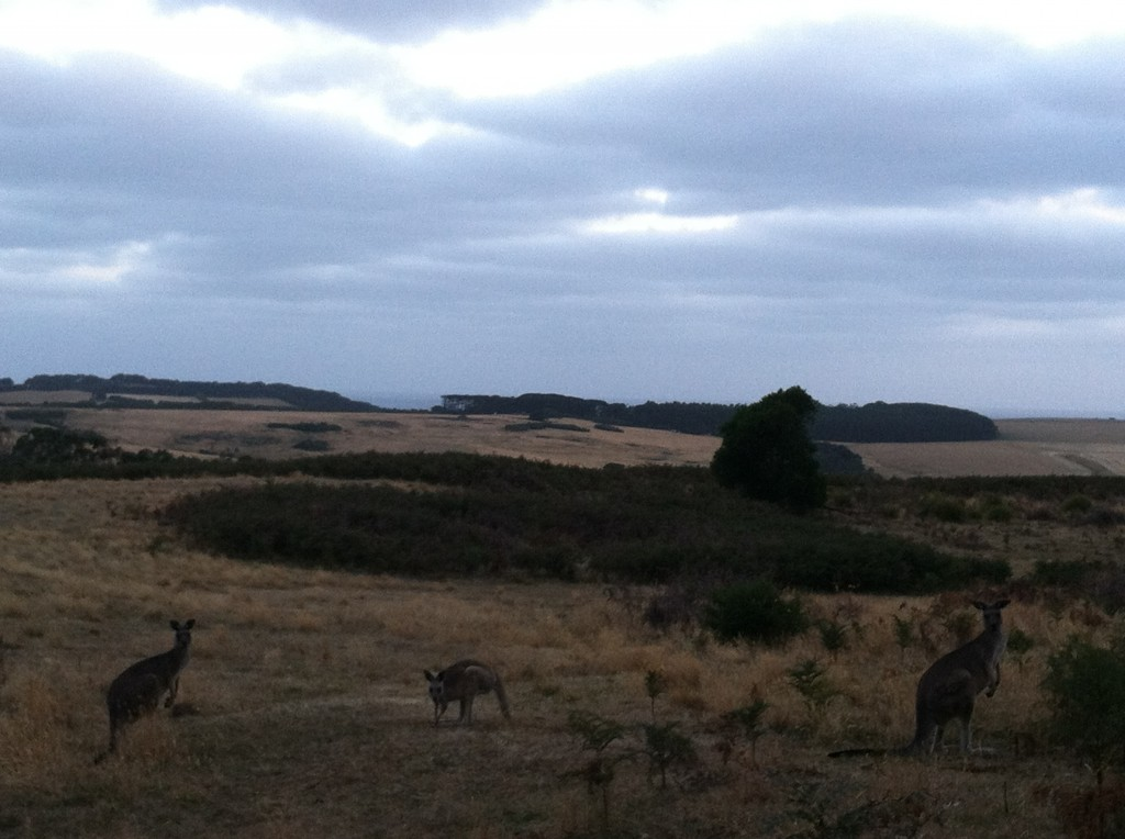 Kangaroos in the Mornington Peninsula National Park