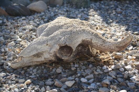 Joshua Tree Skull