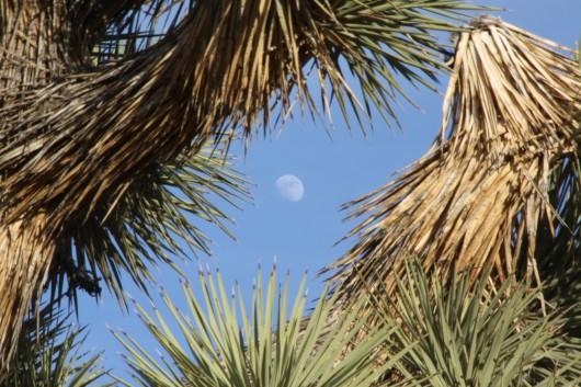 Yucca Moonrise Joshua Tree